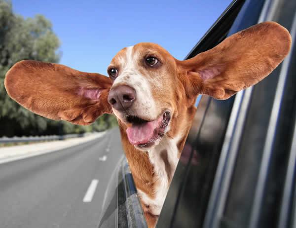 bassett big ears