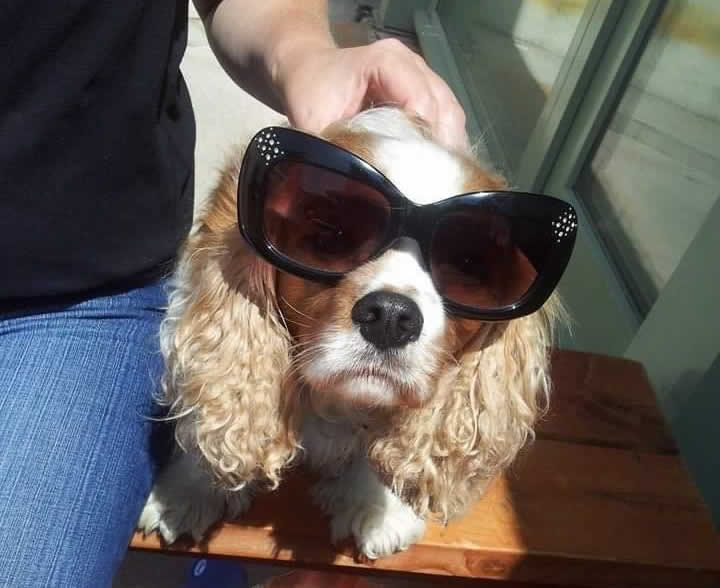 Dog called Haribo treated for a lymphoma at Prospect house vets wearing sunglasses