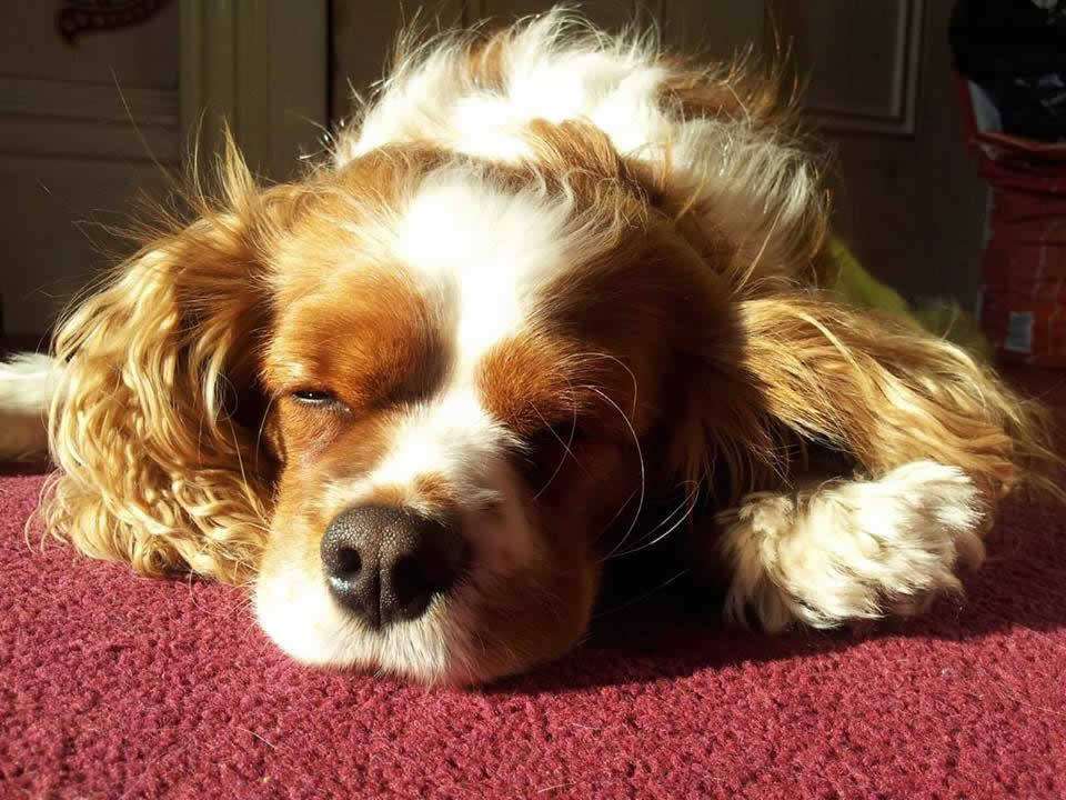 Dog called Haribo treated for a lymphoma at Prospect house vets sleeping