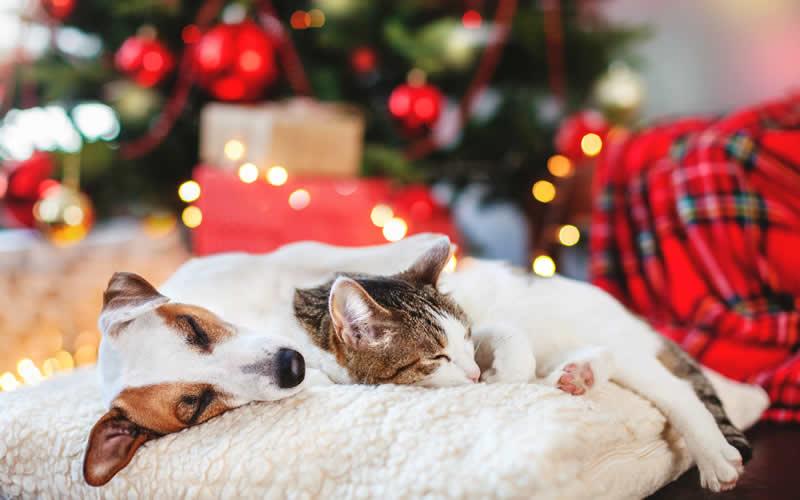 Sleeping dog and cat at christmas