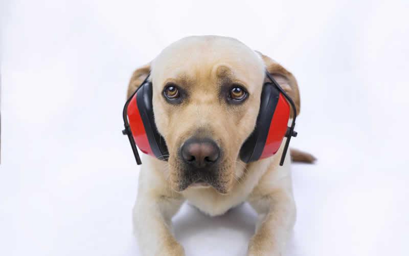 Ear protectors on a dog