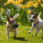 daffodils and dogs