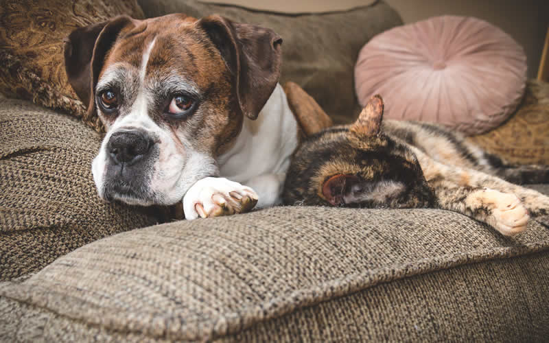 elderly boxer and cat on ofa